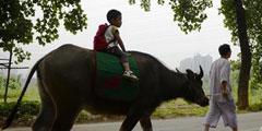 小孩乘牛车上学背唐诗 每日轻松一刻6月26日午间版