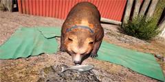 《孤岛惊魂5》PS4版19分钟演示 摸鱼养熊妙趣横生!
