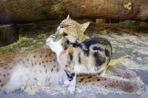 """战斗民族将猞猁从小与猫同养 变为""""同类""""食住同行"""