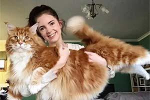 这只喵是一只小脑斧吧!缅因猫+橘猫的属性太惊人!
