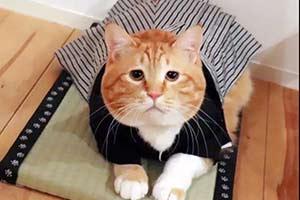 被萌出一脸血!这只日本小丧猫凭