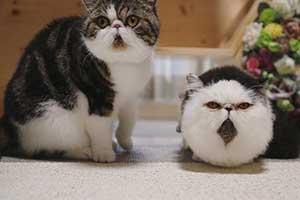 肥宅快乐兽我吸爆!日本网友两只猫咪圆滚滚似毛球