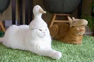 还在为猫咪掉毛烦恼?铲屎官用猫毛给主子做帽子