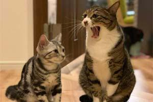 感染力太强了!猫咪哈欠传染之谜 看着也想打哈欠了