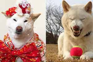 """日本铲屎官晒家狗爆笑""""丑照"""" 狗狗:我不要面子的啊"""