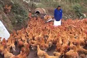 246只土鸡被吓死 或与隔壁放烟花祝寿有关 索赔遭拒
