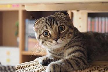 快来吸猫!这只折耳猫的美颜和可爱简直让人欲罢不能