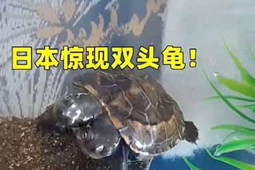 日本惊现双头乌龟:由于基因突变导致!十分罕见!