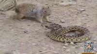 饥饿松鼠VS猛蛇 大战结局让网友傻了