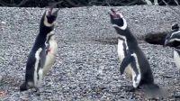 企鹅发现被戴绿帽与小三大打出手 结果很惨