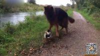 英国一鸭挡狗道视频滑稽有趣蹿红网络