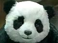 【鬼畜】panda,不看就害死他!