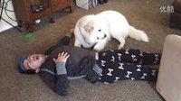 如果你装死,你家的狗狗会是怎样的反映!