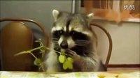 逗比的干脆面:10大搞笑小浣熊视频集锦