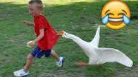鸭与鹅攻击人爆笑盘点04