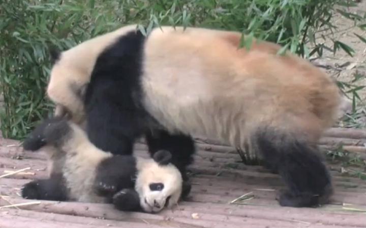 熊猫宝宝和盛的离家出走大作战!