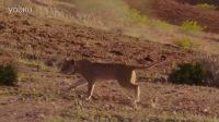 短腿的狮子搞不定长腿的长颈鹿
