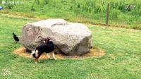 鸭子绕着石头追逐狗狗,画面很逗趣