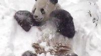 大熊猫甜甜今早醒来很大雪,他很兴奋