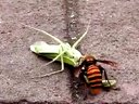 大黄蜂猎杀螳螂过程