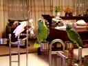 【Youtube奇趣精选】会唱歌的逗比鹦鹉