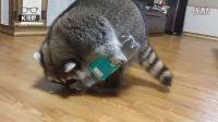 成精的小浣熊从瓶子倒吃的!