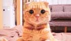 萌界之王!这只橘猫一个眼神就能让猫奴俯首称臣