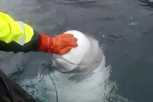 《红警2》并非乱开脑洞 疑似俄罗斯训练军用白鲸曝光