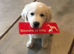主人警示白挂 盘点那些与恶犬形象不符的傻萌狗子