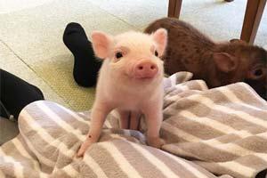 超可爱的小猪躺在你腿上睡觉!日本首家迷你猪咖啡厅