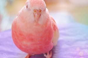 堪称宠物界的桥本环奈 这只粉色鹦鹉引起你的少女心