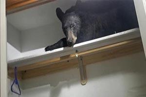 熊瞎子睡觉也挑地 美一黑熊闯民宅衣柜反锁柜门打盹