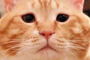"""弱小无助但能吃!日本""""小丧脸""""橘猫实在太可爱了!"""
