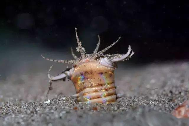 """海洋里最为恐怖的""""怪虫"""" 被切成3段依然能够存活"""