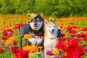 笑容暖心滿屏幸福感 日本網紅柴犬兄妹可愛萌照賞