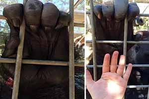 大猩猩的手有多大?15张有趣的照片令人大开眼界!