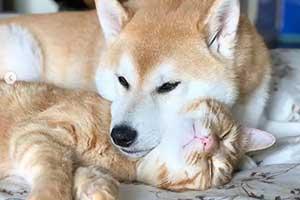 11区一柴犬以为自己是猫 和橘猫混一起后画风变这样