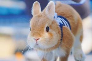 点击即可被治愈!日本超萌彼得兔Peter萌照欣赏