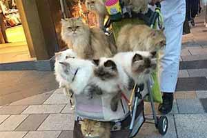 猫奴中的王者!日本一大叔退休后每天婴儿车遛10只猫