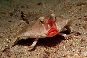 红唇蝙蝠鱼、耶稣蜥蜴!细数19种长相最奇特的动物