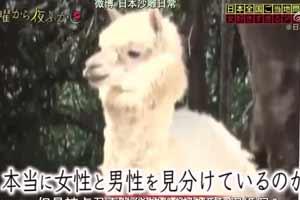 日本综艺让人爆笑的名场面!只亲可爱小姐姐的羊驼