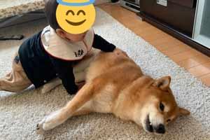日本一只柴犬和奶娃的日常 超治愈柴柴萌翻一众网友!