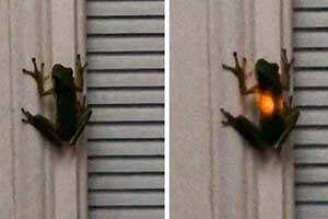 青蛙吃了萤火虫后身体竟会发光!令人目瞪狗呆的照片
