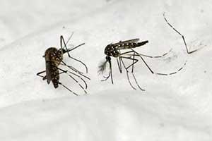 美国就就突破了将释放数百万只转基因蚊子防疟疾 专家却担心…