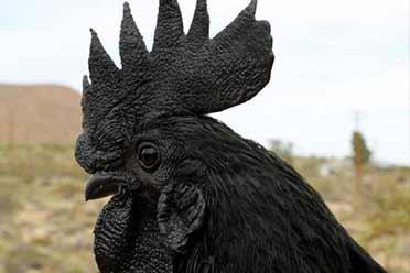 阿亚姆·塞曼尼鸡从内到外全是黑的!涨知识照片来咯!