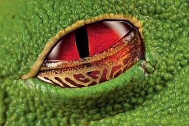 哥斯达黎加树蛙眼中竟有如此诡异图案!罕见的照片