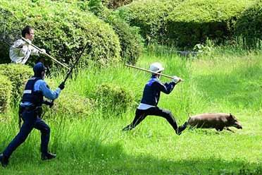 日本福冈县警察抓野猪新闻爆火 有趣场面笑疯众人!