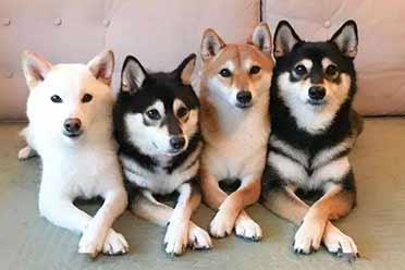 被柴犬包围太幸福了吧!火爆日站的柴犬四姐妹萌炸了