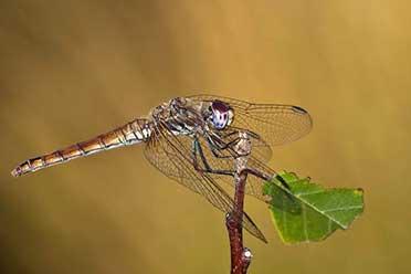 雌性蜻蜓会装死以防被侵犯!让人起鸡皮疙瘩的冷知识