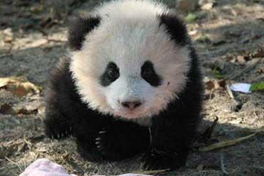 """大熊猫""""头秃""""引热议!当真是仗着血统就能为所欲为!"""